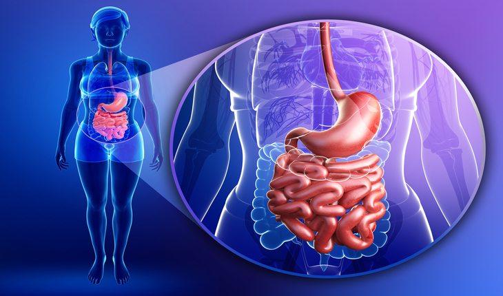 ilustração de um sistema digestivo humano damasco