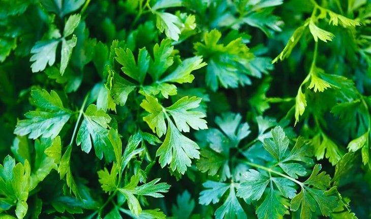 folhas de salsinha