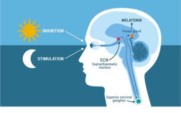 Glândula pineal: entenda sua importância ao nosso bem-estar